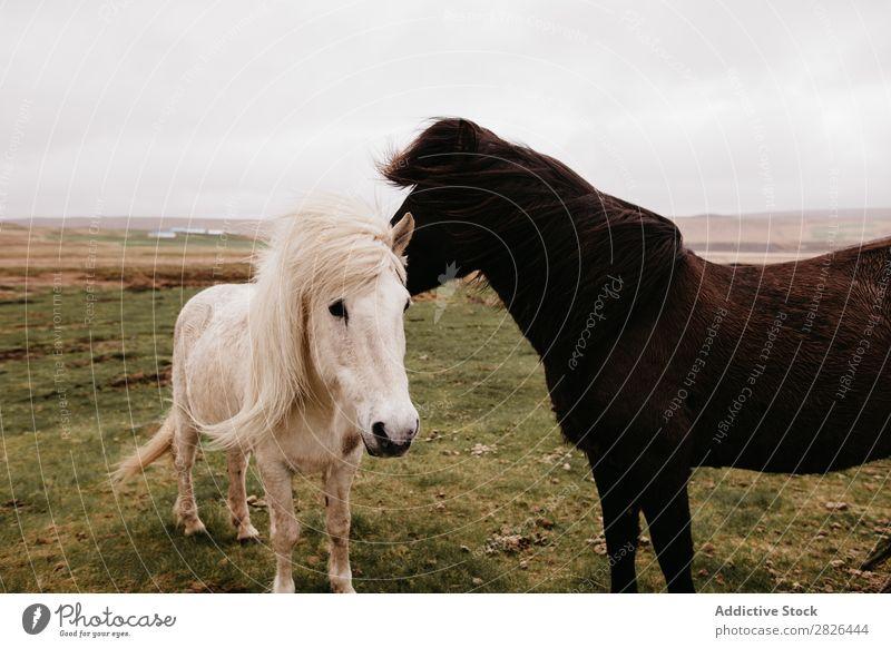 Zwei schöne Pferde auf einer Ebene Island Weide Wind Landschaft Natur ruhig Landwirtschaft Reiterin Wildnis Wiese Säugetier Feld natürlich Tier Hengst ländlich