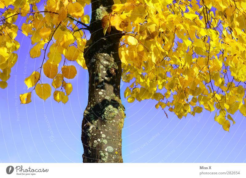 Gelbe Linde Natur Herbst Baum Blatt leuchten gelb Herbstfärbung Herbstlaub Blauer Himmel Baumstamm Lindenblatt Kontrast Farbfoto mehrfarbig Außenaufnahme