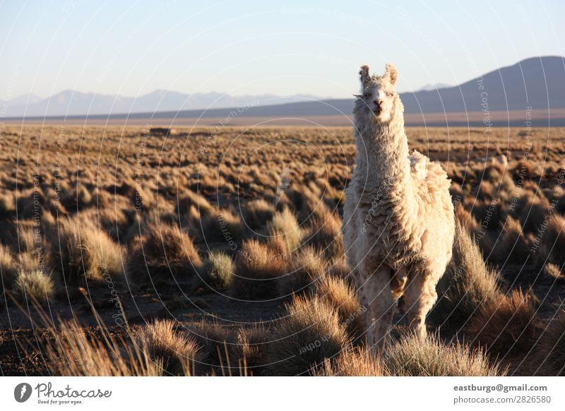 Bolivianisches Lama auf Altiplano Tier Nutztier 1 füttern Textfreiraum Textfreiraum links Alpaka Berge u. Gebirge Landwirtschaft Ackerbau Anden Herbst Bolivien