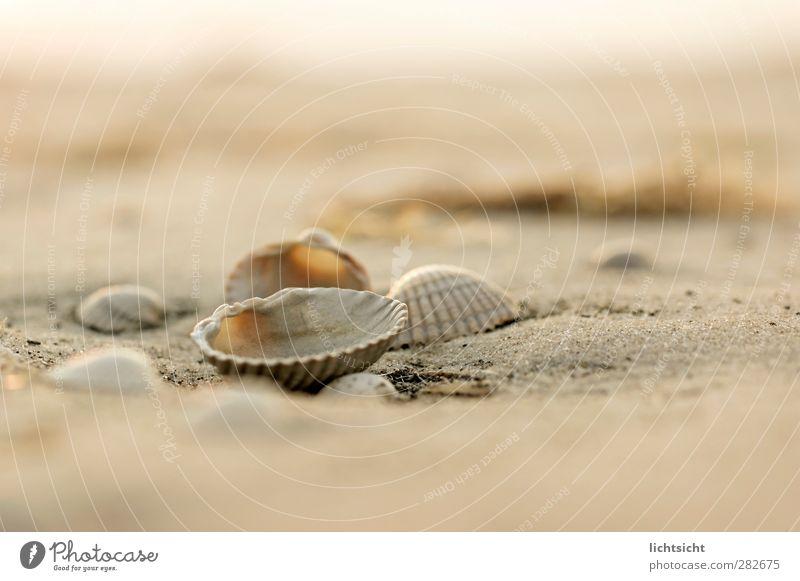 SandMeer I Natur Landschaft Urelemente Sommer Wetter Schönes Wetter Küste Strand Nordsee Ostsee Insel maritim Muschel Muschelschale Muschelsand Strandgut
