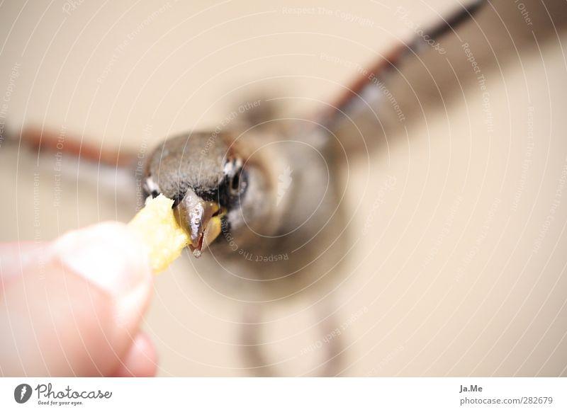 Berliner Spatzen lieben Pommes Tier gelb Vogel braun fliegen gold Wildtier Flügel Tiergesicht Fressen Schnabel füttern Spatz Pommes frites Vogelfutter Feldsperling