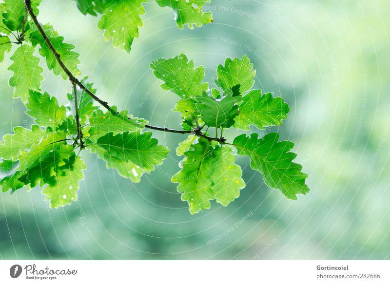 Eiche Umwelt Natur Herbst Pflanze Blatt Wald grün Eichenblatt herbstlich Zweige u. Äste Farbfoto Außenaufnahme Textfreiraum rechts Textfreiraum unten