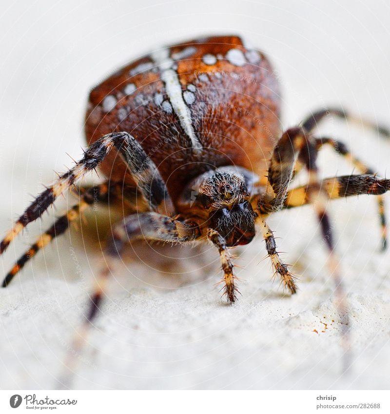 Spinn(e) ich? weiß Tier gelb Umwelt Auge Haare & Frisuren Beine Kopf braun sitzen Wildtier Tierfuß beobachten Tiergesicht nah gruselig