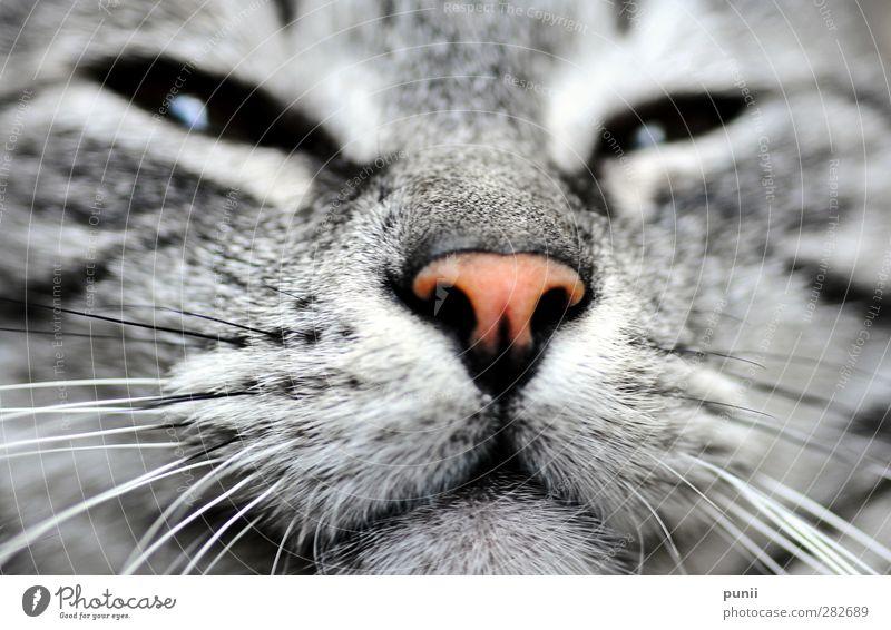 void eyes Katze Tier Wärme Leben Kraft Zufriedenheit authentisch elegant ästhetisch Sicherheit Coolness Neugier dick Haustier exotisch Geborgenheit