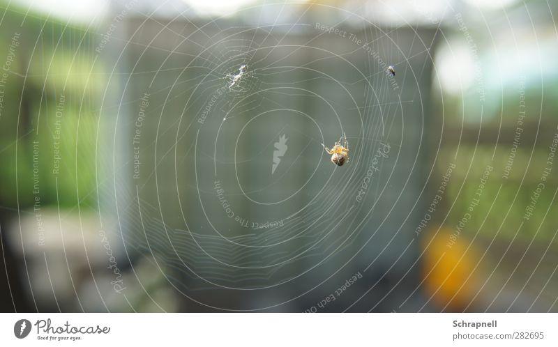 spinnst wohl Umwelt Natur Tier Totes Tier Fliege Spinne Flügel 2 Spinnennetz Netz Essen fangen Fressen hängen Jagd krabbeln ästhetisch bedrohlich Ekel natürlich