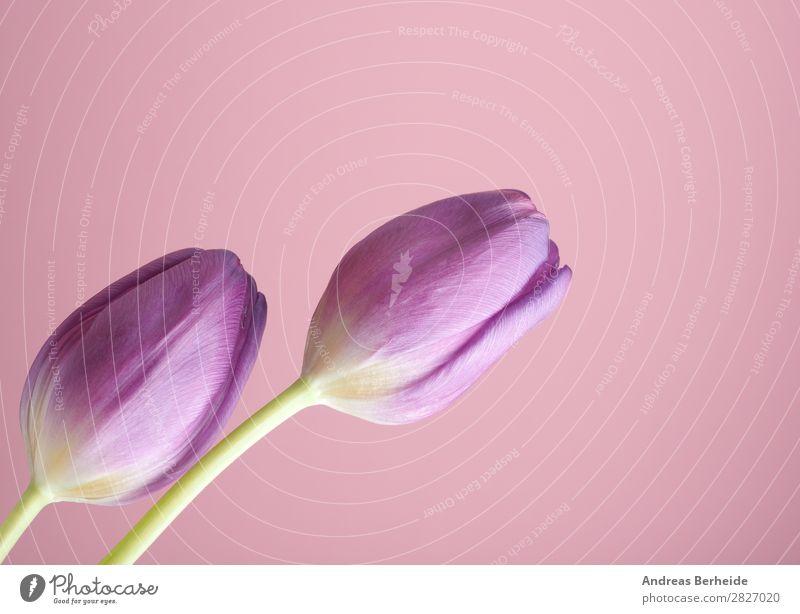 Zwei Tulpen auf pink Valentinstag Muttertag Geburtstag Natur Pflanze Blumenstrauß Blühend Liebe rosa Lebensfreude Frühlingsgefühle Kraft schön two puristic