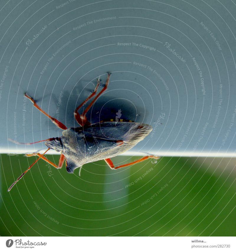 verwanzt Wanze rotbeinige Baumwanze krabbeln Ekel blau grün Höhenangst Pflanzenschädlinge Risiko Insekt kopfvoran Farbfoto Außenaufnahme Menschenleer