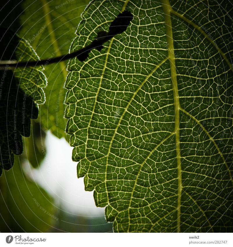 Lebensadern Umwelt Natur Pflanze Blatt Grünpflanze nah grün Farbfoto Nahaufnahme Detailaufnahme Makroaufnahme Muster Strukturen & Formen Menschenleer