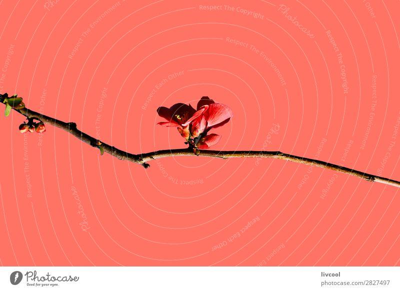chaenomeles japonica auf korallenrot Lifestyle Glück Leben Sonne Natur Pflanze Urelemente Frühling Klima Wetter Baum Blume Blüte authentisch außergewöhnlich