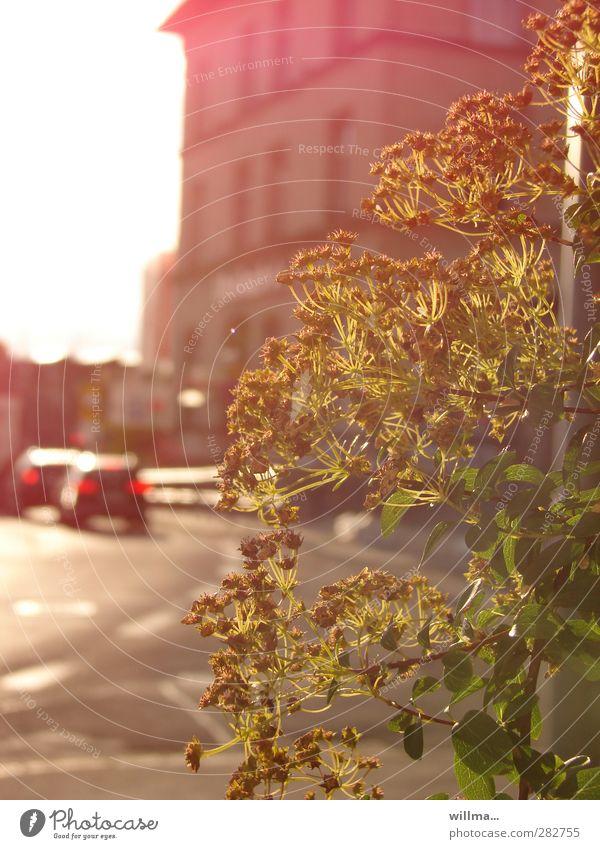 feierabend Stadt Pflanze Haus Straße PKW Sträucher Schönes Wetter fahren Abenddämmerung verblüht Fahrzeugbeleuchtung Feierabend Rücklicht Chemnitz Stimmungsbild