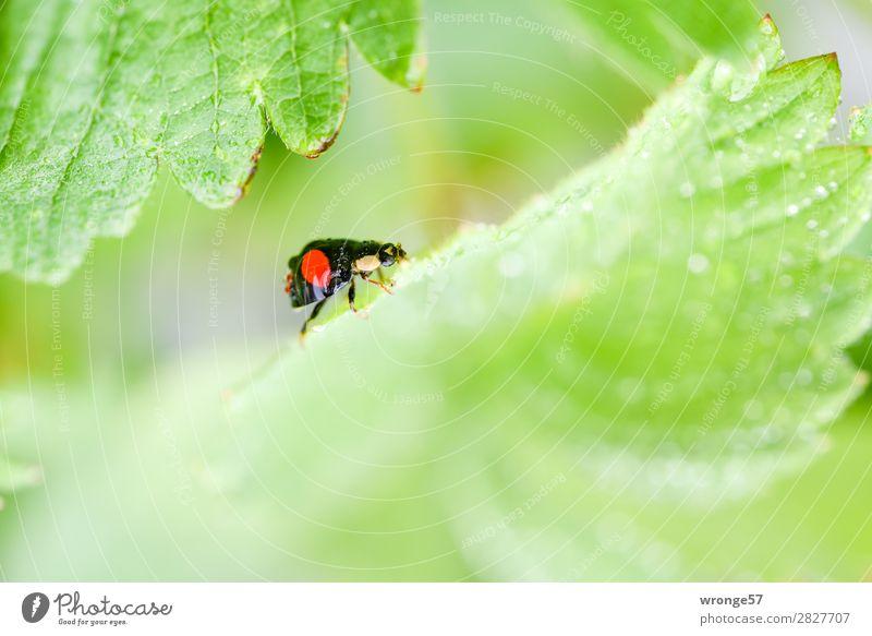 Marienkäfers Ausflug Sommer Blatt Tier Nutztier Wildtier Käfer 1 krabbeln klein grün rot schwarz Makroaufnahme Querformat Nahaufnahme Regen Wassertropfen