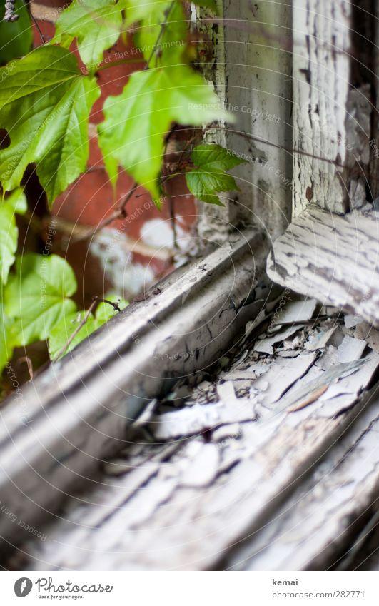 Früher war alles besser | Außer die Fenster alt grün weiß Pflanze Haus Fenster Holz offen Wohnung Wachstum Häusliches Leben kaputt verfallen Renovieren Efeu Fensterrahmen