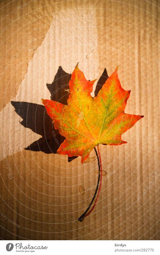 gefallene Schönheit Herbst Schönes Wetter Blatt Ahornblatt leuchten positiv schön Wärme mehrfarbig ästhetisch Farbe Wandel & Veränderung Karton Kanada
