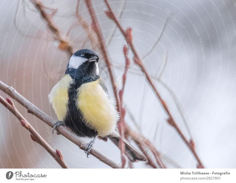 Kohlmeise im Baum Natur Tier Sonnenlicht Schönes Wetter Zweige u. Äste Wildtier Vogel Tiergesicht Flügel Krallen Meisen Feder Schnabel Auge 1 beobachten