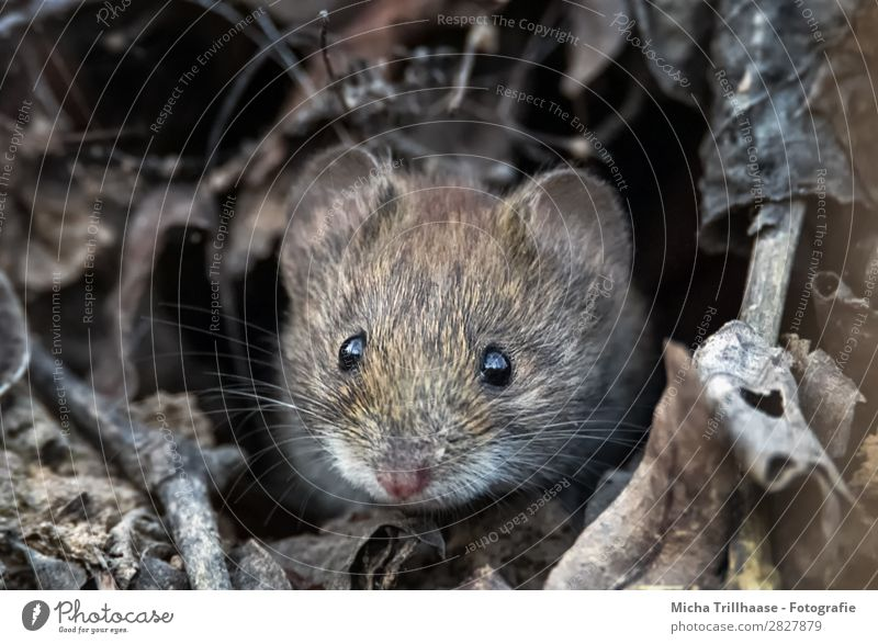 Feldmaus schaut aus dem Bau Natur Tier Sonnenlicht Blatt Zweige u. Äste Wildtier Maus Tiergesicht Fell Erdmaus Auge Ohr Nase Barthaare 1 beobachten glänzend