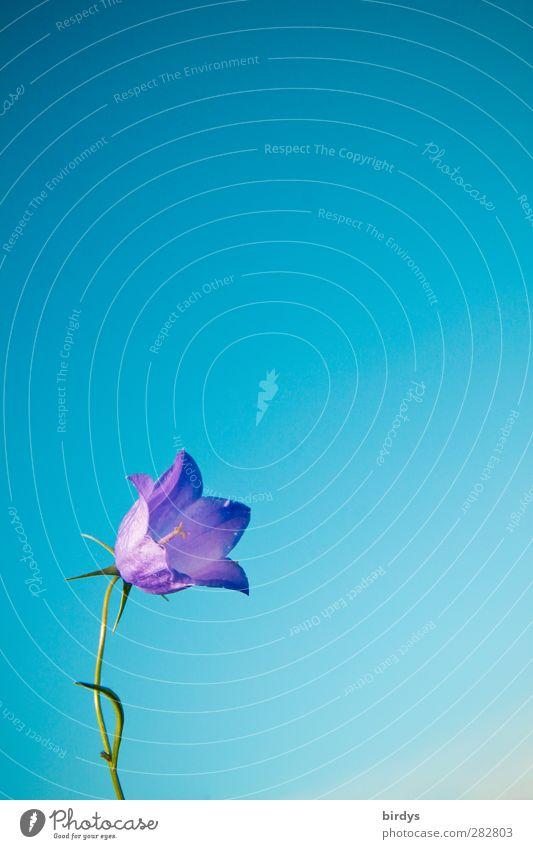 Kling Glöckchen klingelingeling..... Wolkenloser Himmel Sommer Herbst Blume Glockenblume Blühend Duft ästhetisch elegant Freundlichkeit Fröhlichkeit positiv