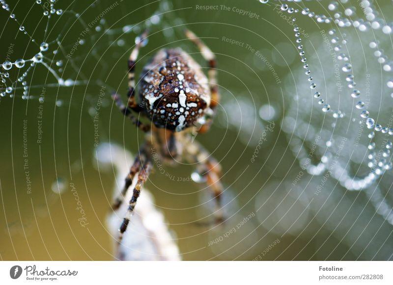 600 gefressene Fliegen... Umwelt Natur Tier Urelemente Wasser Wassertropfen Herbst Wildtier Spinne hell nass natürlich Kreuzspinne Farbfoto Gedeckte Farben