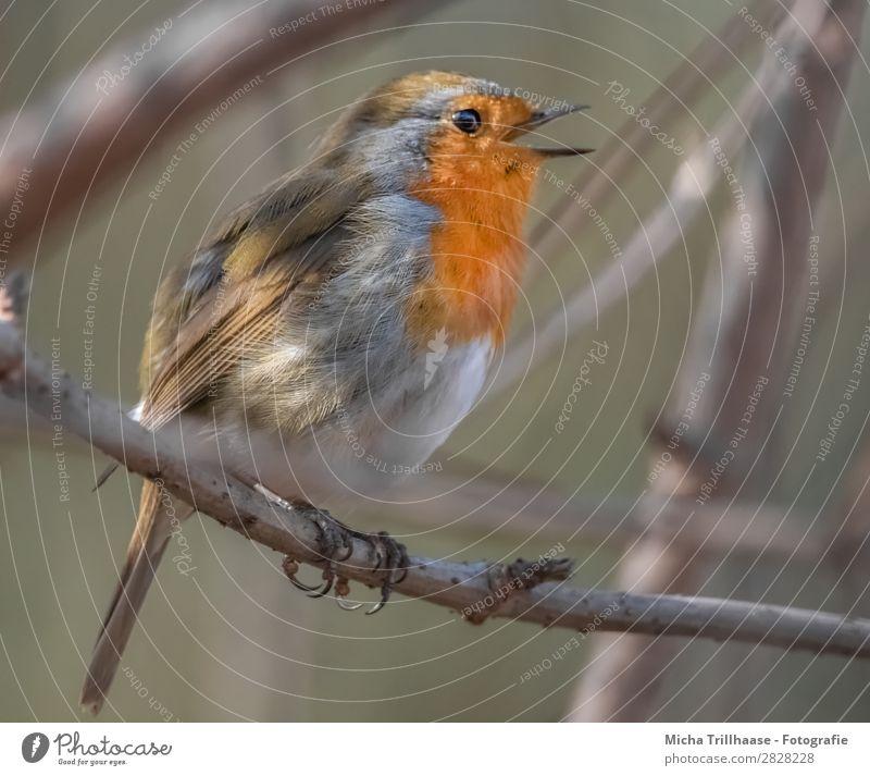 Singendes Rotkehlchen Natur Tier Sonnenlicht Schönes Wetter Baum Zweige u. Äste Wildtier Vogel Tiergesicht Flügel Krallen Schnabel Feder Auge 1 leuchten Blick