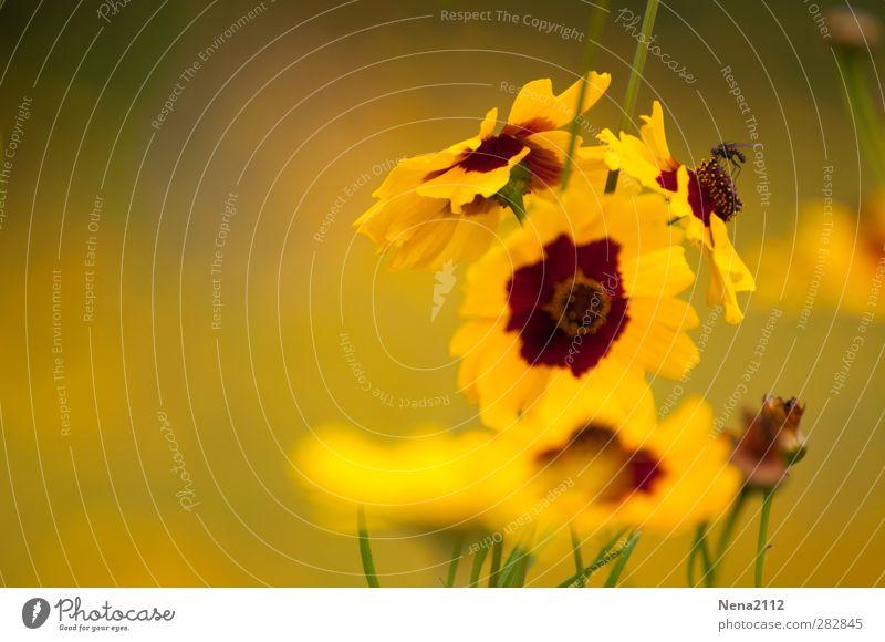 In a yellow world (2) Umwelt Natur Pflanze Tier Blume Blüte Park Wiese Fliege 1 frei klein gelb winzig Sommer sommerlich Sommertag Sommerblumen Farbfoto