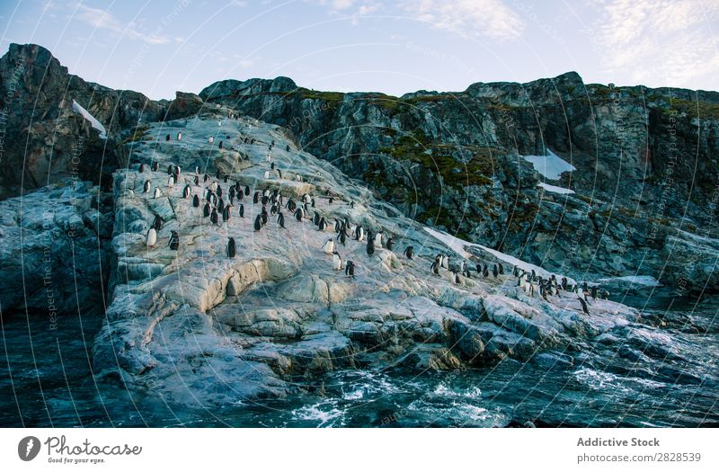 Arktische Pinguine in wilder Naturlandschaft Antarktis Eis kalt Meer Süden Eisberg Schnee Erwärmung Tierwelt polar Klima Vogel Kolonie Außenaufnahme weiß Bucht