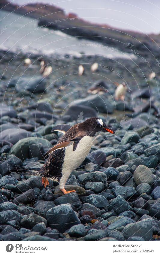 Arktische Pinguine Natur Antarktis Eis kalt Meer Süden Eisberg Schnee Erwärmung Tierwelt polar Klima Vogel Kolonie Außenaufnahme weiß Bucht Landschaft