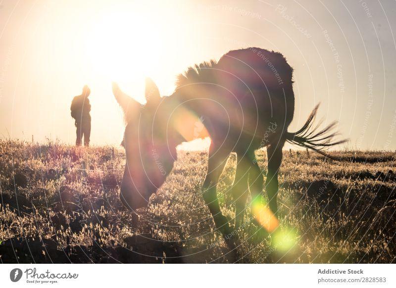 Esel bei Sonnenuntergang Tier Bauernhof Natur braun Freude ländlich Muli Säugetier Kopf niedlich heimisch Ackerbau Porträt weinen spaßig humorvoll eigenwillig