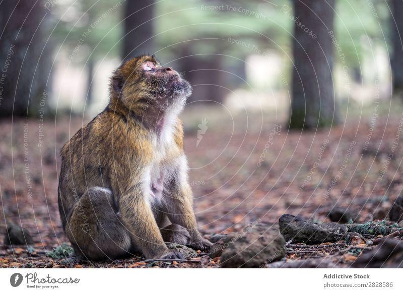 Ausdrucksstarker Affe auf dem Boden sitzend Affen niedlich expressiv Tier Augen geschlossen träumen Tierwelt wild Natur Wald Park Urwald Primas Menschenaffen