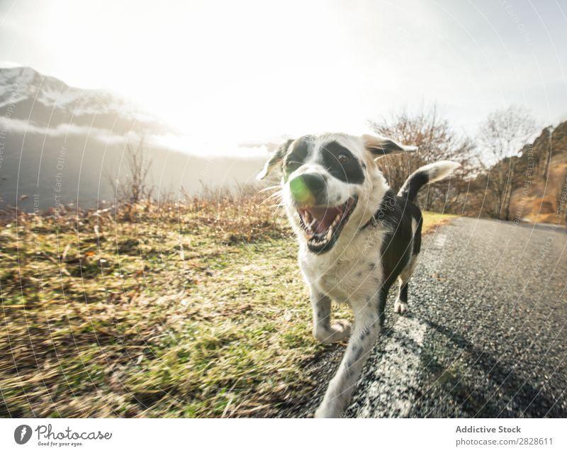 Glücklicher Hund, der auf einer Landstraße läuft. Straße Freude Spielen grün Haustier Tier schön Gras Jugendliche Natur Außenaufnahme niedlich Beweglichkeit
