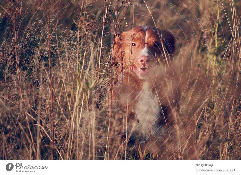 Naturbursche Hund grün Pflanze rot Freude Tier gelb Umwelt Wärme Herbst Bewegung braun natürlich gold glänzend