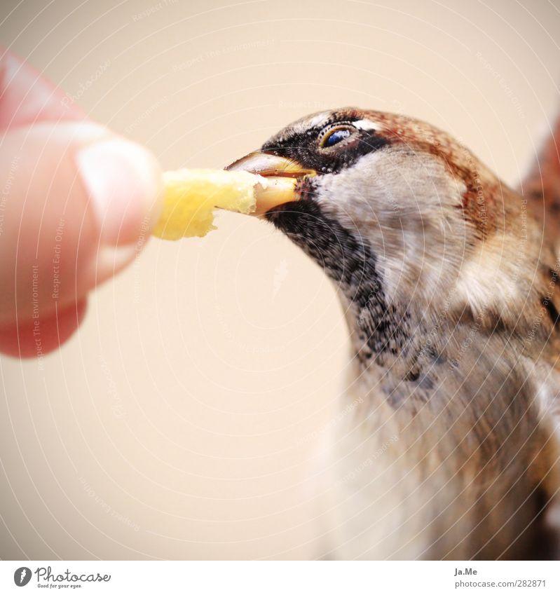 Fütter mich! - Berliner Spatzen lieben Pommes die 2te Tier Vogel braun fliegen gold Wildtier Flügel genießen Tiergesicht Fressen Schnabel füttern Fastfood