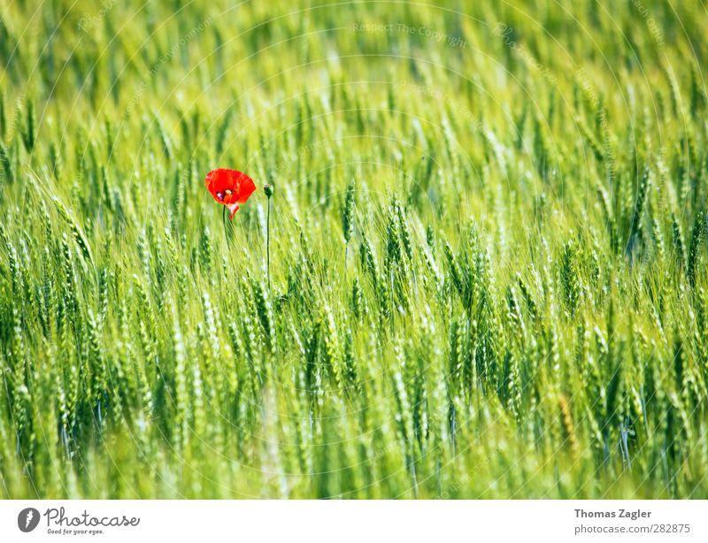 Einsame Schönheit Bioprodukte Korn Getreide Getreidefeld Landwirtschaft Forstwirtschaft Natur Landschaft Pflanze Sommer Blüte Grünpflanze Nutzpflanze Feld