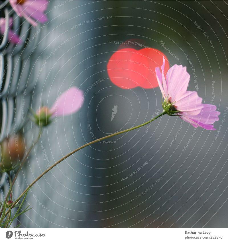 Ausbrecher Pflanze Sommer Blume Garten Zaun Maschendrahtzaun frisch schön klein natürlich rebellisch grau rosa rot Farbfoto Außenaufnahme Menschenleer