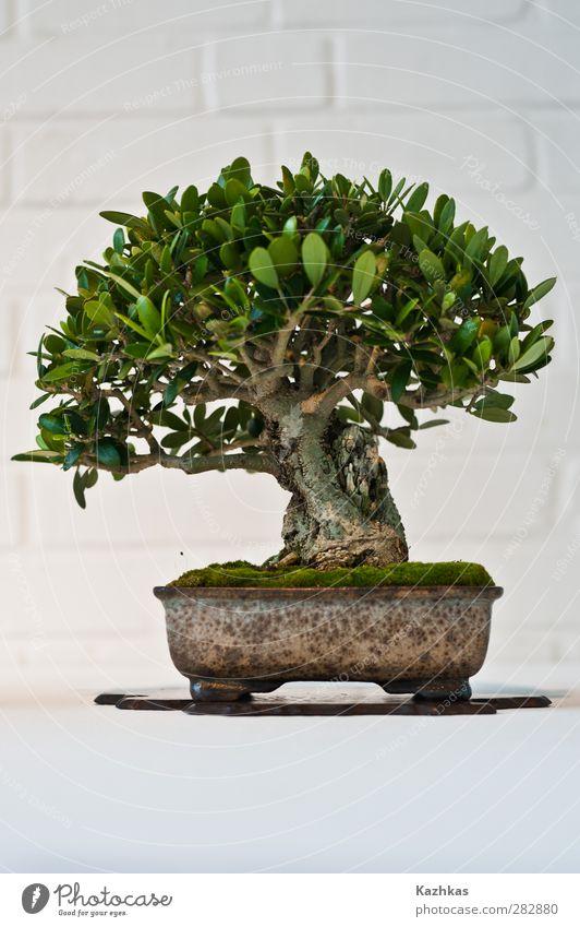 bonsai grün weiß Pflanze Baum Landschaft Japan exotisch Wildpflanze Topfpflanze Bonsai