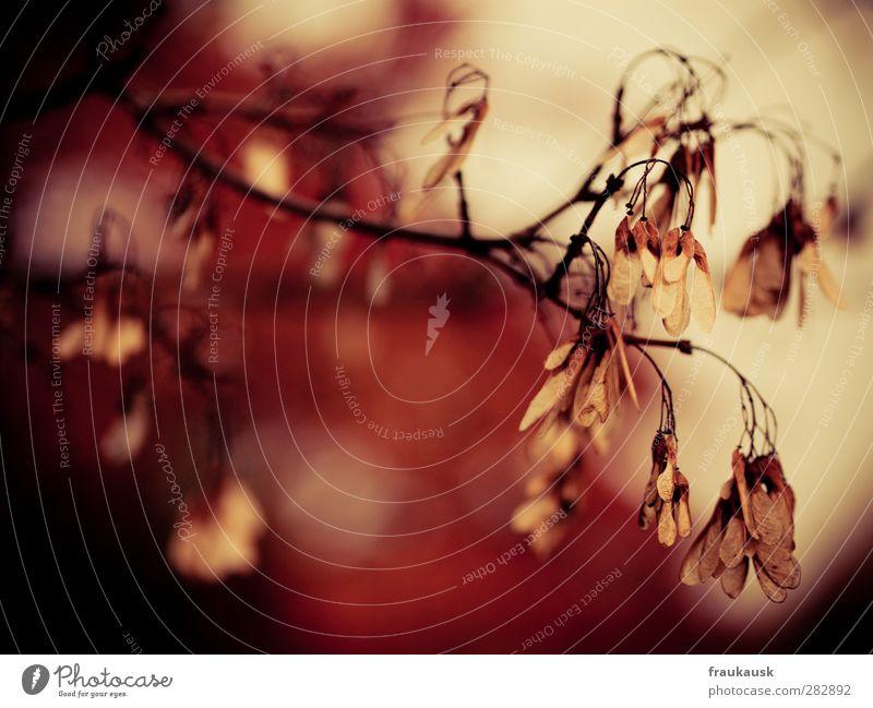 Herbstrot schön Blatt Herbstlaub Ahorn
