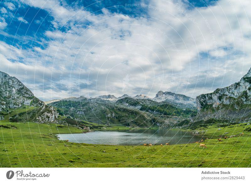 Weide und See in den Bergen Berge u. Gebirge Wiese Kuh Landschaft Gras Natur Feld ländlich Sommer Landen malerisch Jahreszeiten Szene Rasen
