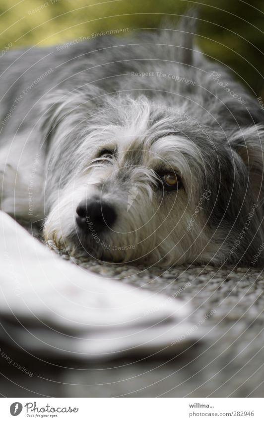 Chillender Hund. Sonntagsplatt. Haustier Tier beobachten Erholung liegen Blick Zeitung ruhen Hundeschnauze Knockout Menschenleer Tierporträt chillen
