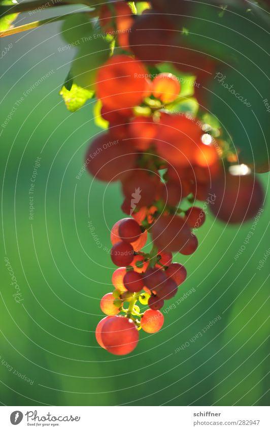 Punkerbeeren Frucht Ernährung Essen Bioprodukte Slowfood Alkohol Wein saftig grün rot Weintrauben Weißwein Rotwein Weinberg Außenaufnahme Menschenleer