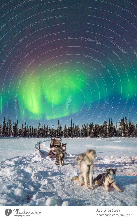 Hunde im Schlitten im Nordwald Winter Natur kalt Norden Polarlicht Wald Nacht bedeckt Schnee Jahreszeiten weiß Landschaft Eis Frost Ferien & Urlaub & Reisen