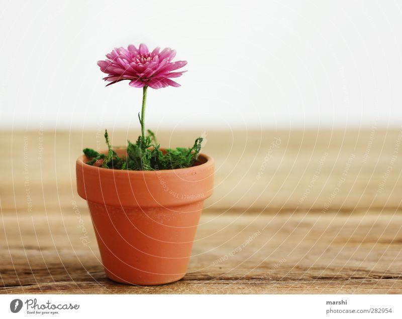 Zimmerpflanze Pflanze Frühling Sommer Herbst Blume braun grün rosa Blumentopf Wachstum Blühend klein Dekoration & Verzierung Farbfoto Innenaufnahme