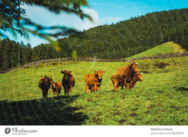Kühe auf der Weide auf sonnigem Feld Kuh grün Natur Herde Vieh Fressen Essen Sonnenstrahlen Wiese Frühling Sommer Gras Landschaft Landwirtschaft ländlich