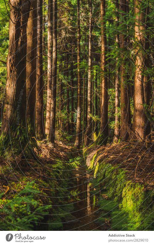 Immergrüner Wald an sonnigen Tagen Natur Umwelt Wege & Pfade natürlich Jahreszeiten
