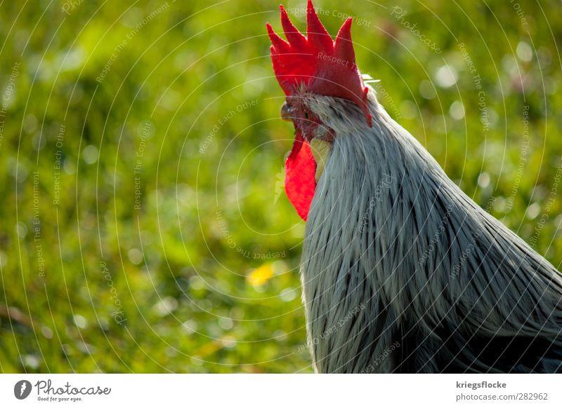 The redhead Boss Natur Gras Wiese Alpen Tier Nutztier Flügel Hahn 1 beobachten elegant Neugier Hahnekamm rot Feder Heimat Landwirtschaft Führer Farbfoto
