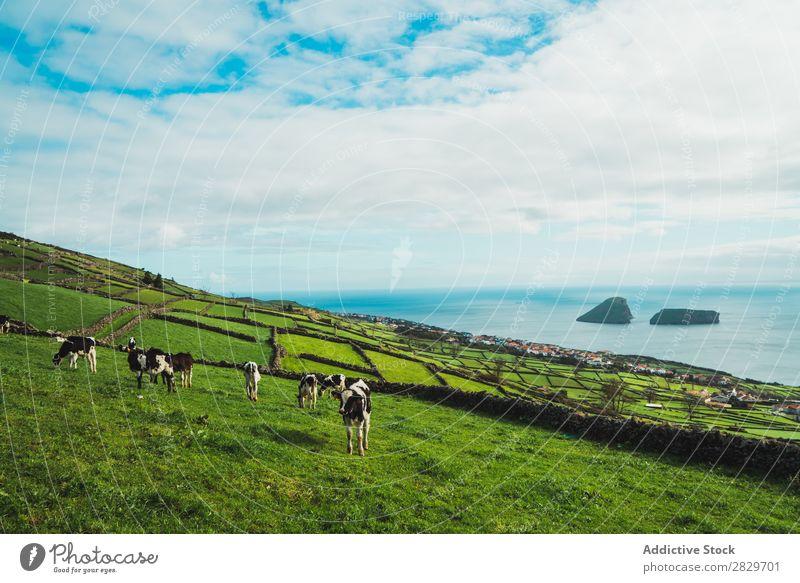 Viehzucht auf grünen Wiesen am Ufer Weide Grasland Meer Panorama (Bildformat) Küste hell Feld Bauernhof Landschaft Idylle ländlich Morgen
