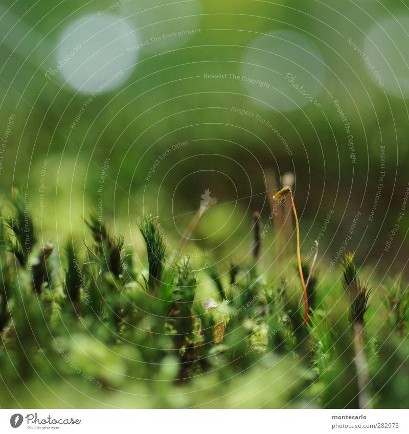 der seidene faden Umwelt Natur Pflanze Sommer Gras Moos Blüte Grünpflanze Wildpflanze Moosblüte Wald ästhetisch dünn authentisch einfach frisch hoch klein lang