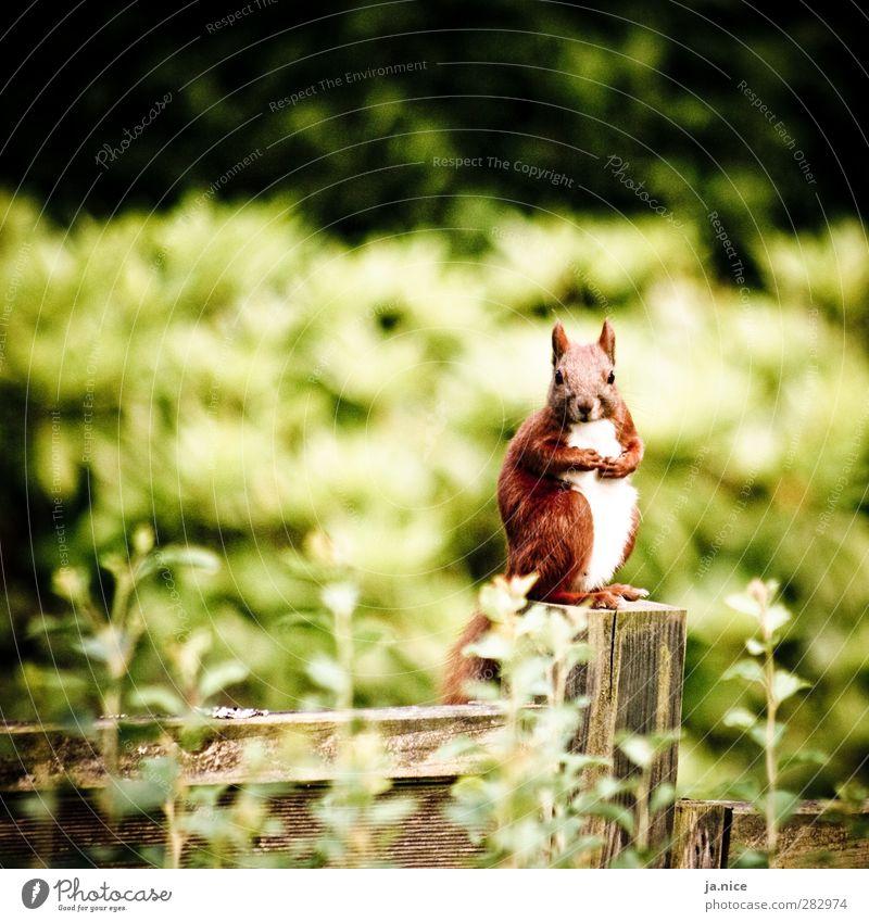 Auf der Mauer, auf der Lauer Natur Frühling Pflanze Garten Tier Wildtier Eichhörnchen 1 Zaun Holz Blick sitzen stehen warten Freundlichkeit listig nah natürlich