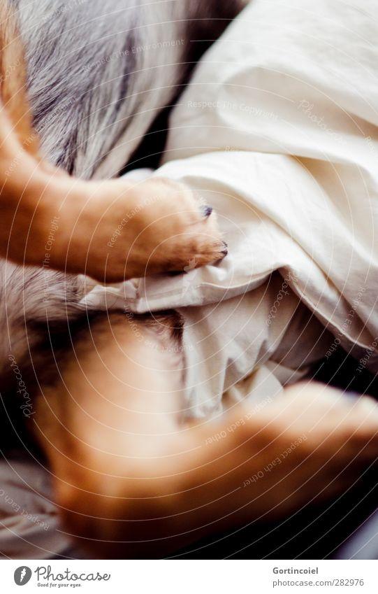 Pfeifer Tier Haustier Hund Fell Pfote 1 liegen schlafen ruhig bequem Wolf Mischling Beine Bettdecke Siesta faulenzen Müdigkeit Farbfoto Innenaufnahme