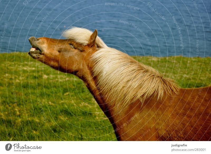 Island Umwelt Natur Wasser Gras Tier Nutztier Pferd Island Ponys 1 lustig natürlich wild Freiheit wiehern Farbfoto Außenaufnahme Tierporträt Profil