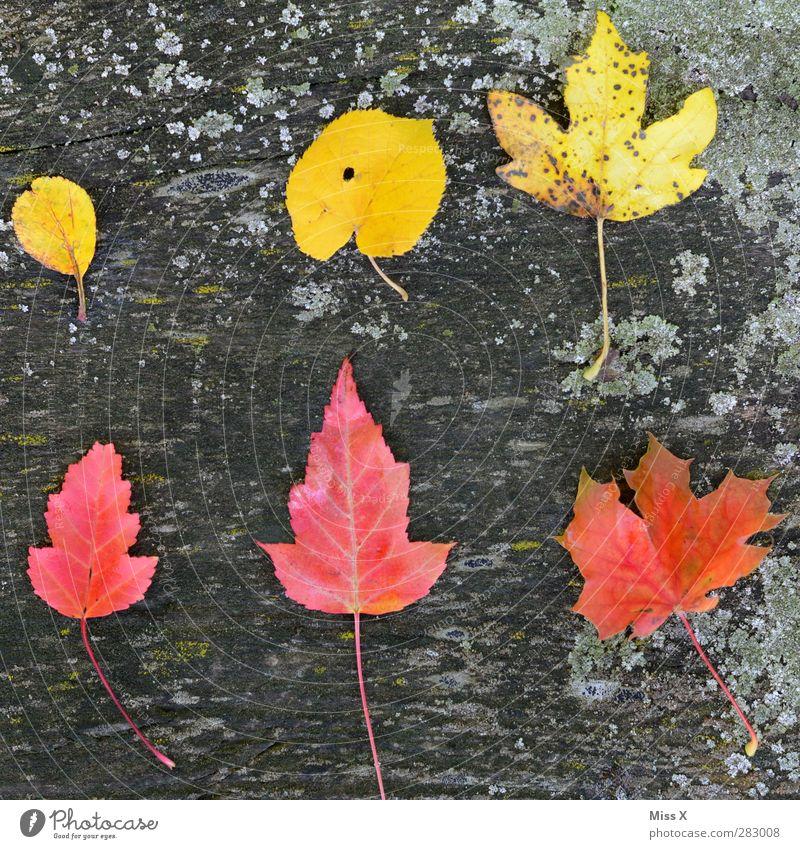 Gelb-Rot Herbst Blatt Holz mehrfarbig Herbstlaub herbstlich Herbstfärbung Ahornblatt Lindenblatt rot gelb Baumstamm Moos Sammlung Anhäufung Farbfoto