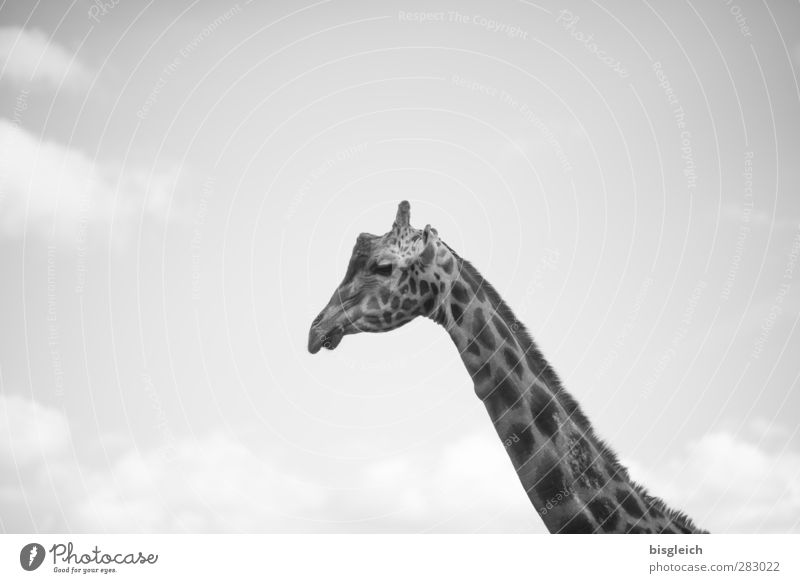 Giraffe III Himmel Tier grau Wildtier