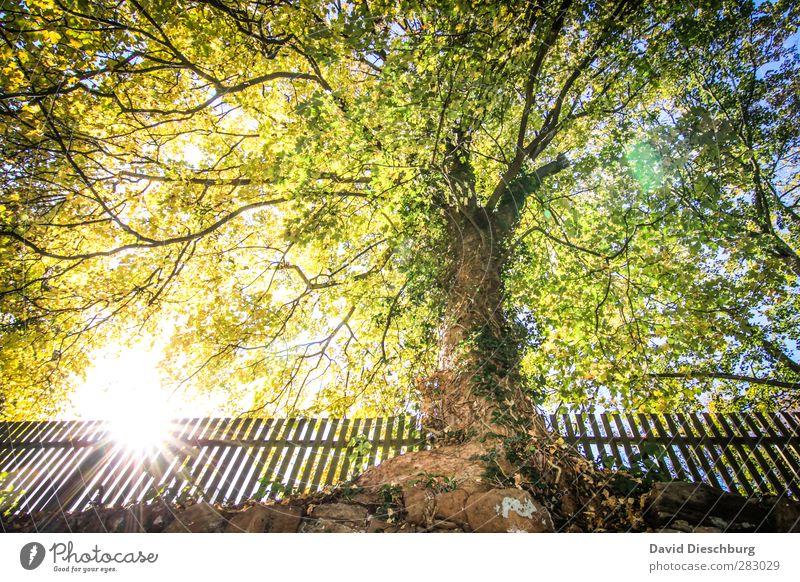 Momente der Ruhe Natur Wolkenloser Himmel Frühling Herbst Schönes Wetter Pflanze Baum Garten Park blau gelb grün schwarz weiß Zaun herbstlich Herbstbeginn